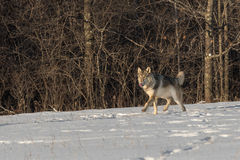 Grey Wolf Canis lupus Prances Left Tongue Out Stock Photo