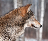 Grey Wolf (Canis lupus) Profile Royalty Free Stock Images