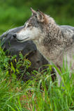 Grey Wolf Canis lupus Profile Next to Rock Stock Images