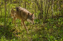Grey Wolf Canis lupus Prowls Through Brush. Captive animal Royalty Free Stock Photos