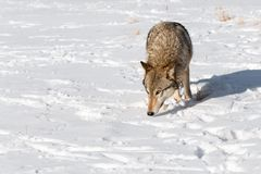 Grey Wolf Canis lupus Prowls Forward Nose Down. Captive animal Stock Photo