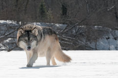 Grey Wolf (Canis lupus) Prowls on Riverbed. Captive animal Stock Images