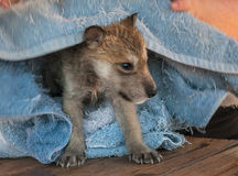 Grey Wolf (Canis lupus) Pup Bathtime. Captive animal Stock Photo