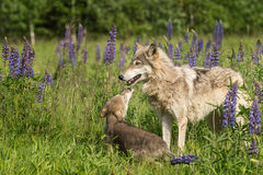 Grey Wolf (Canis lupus) Pup Begs From Yearling Royalty Free Stock Photography