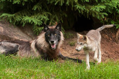 Grey Wolf (Canis lupus) and Pup. Captive animals Stock Image