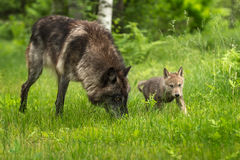 Grey Wolf Canis lupus With Pup. Captive animals Stock Images