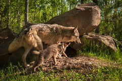 Grey Wolf Canis lupus Pup Chase After Adult Royalty Free Stock Photography