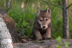 Grey Wolf (Canis lupus) Pup Climbs Over Rock Stock Photo