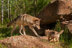 Grey Wolf (Canis lupus) and Pup Come Together Stock Photo