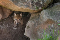 Grey Wolf (Canis lupus) Pup Creeps out of Den Royalty Free Stock Images