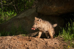 Grey Wolf Canis lupus Pup Emerges From Den With Meat. Captive animal Stock Images