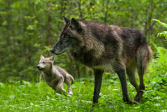 Grey Wolf Canis lupus and Pup Go Left Royalty Free Stock Images