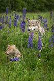 Grey Wolf Canis lupus and Pup in Grass Royalty Free Stock Photography