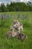 Grey Wolf Canis lupus Pup Greets Yearling Stock Photo