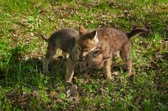Grey Wolf Canis lupus Pup With Head Over Sibling. Captive animals Stock Photography