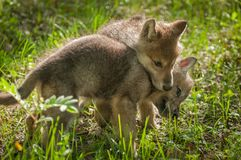 Grey Wolf Canis lupus Pup Jumps on Sibling. Captive animals Royalty Free Stock Photography