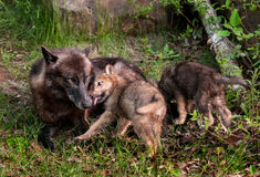 Grey Wolf (Canis lupus) Pup Licks Mother's Mouth stock image