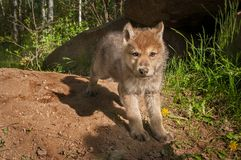 Grey Wolf Canis lupus Pup Looks Out. Captive animal Stock Image