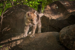 Grey Wolf Canis lupus Pup Looks Right from Atop Rock. Captive animal Royalty Free Stock Photo