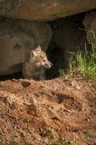 Grey Wolf Canis lupus Pup Looks Right Of Den. Captive animal Stock Images