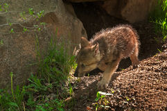 Grey Wolf (Canis lupus) Pup Moves Left out of Den. Captive animal royalty free stock photography