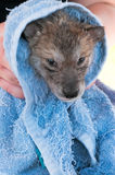 Grey Wolf (Canis lupus) Pup Not Enjoying Post Bath Rubdown Royalty Free Stock Images