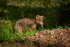 Grey Wolf Canis lupus Pup With Piece of Meat. Captive animal Stock Images