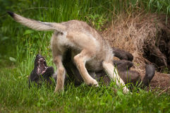 Grey Wolf Canis lupus Pup Pins Sibling. Captive animals Royalty Free Stock Images