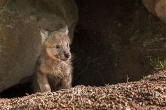 Grey Wolf (Canis lupus) Pup Pokes Head out of Den. Captive animal Stock Image
