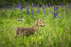 Grey Wolf Canis lupus Pup Pops Up in Lupine Field. Captive animal Stock Photos