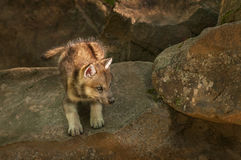 Grey Wolf (Canis lupus) Pup Ready to Pounce. Captive animal Stock Photo