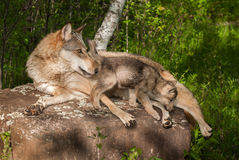 Grey Wolf (Canis lupus) and Pup on Rock Looking Right Royalty Free Stock Photos