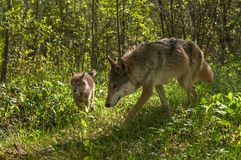 Grey Wolf Canis lupus and Pup Run Forward Royalty Free Stock Image