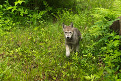 Grey Wolf (Canis lupus) Pup Runs Around Rock Royalty Free Stock Photography