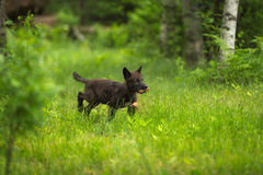 Grey Wolf Canis lupus Pup Runs With Meat. Captive animal Stock Photography