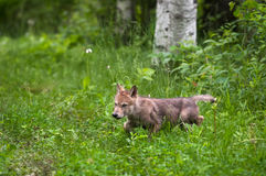 Grey Wolf Canis lupus Pup Runs Out of Woods Stock Images