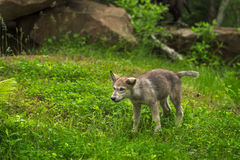 Grey Wolf Canis lupus Pup Shakes Off. Captive animal Royalty Free Stock Image