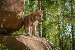 Grey Wolf Canis lupus Pup Stands on Den. Captive animal Royalty Free Stock Photography