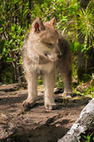 Grey Wolf (Canis lupus) Pup Stands with Eyes Closed Stock Images