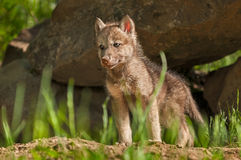 Grey Wolf (Canis lupus) Pup Stands in Front of Den Stock Photo