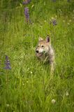 Grey Wolf Canis lupus Pup Steps Through Grass. Captive animal Stock Images