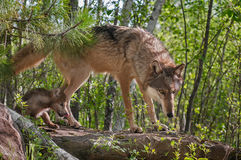 Grey Wolf (Canis lupus) and Pup Walk onto Rock Royalty Free Stock Photos