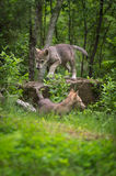 Grey Wolf Canis lupus Pup Walks Across Rock. Captive animals Royalty Free Stock Images