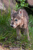 Grey Wolf (Canis lupus) Pup Walks Forward Royalty Free Stock Images