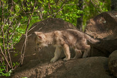 Grey Wolf (Canis lupus) Pup Walks Out of Rocks. Grey Wolf (Canis lupus) Pup Walks Out of Rocks - captive animal Stock Photo