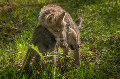 Grey Wolf Canis lupus Pup Wrestles with Sibling Stock Image