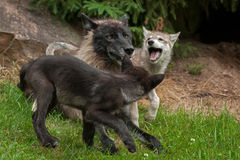 Grey Wolf (Canis lupus) Pups Cavort Around Juvenile Royalty Free Stock Photos