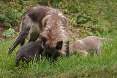 Grey Wolf Canis lupus and Pups Heads in Grass Stock Image