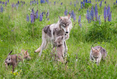 Grey Wolf Canis lupus and Pups in Lupin Royalty Free Stock Photos