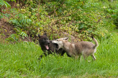 Grey Wolf (Canis lupus) Pups at Play Royalty Free Stock Photo